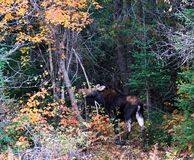 Moose at Wild royalty free stock photo