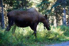Moose in wild Alaska royalty free stock photography