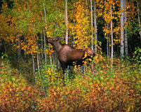 Moose - wild cow moose. In the fall forest, Yukon, Canada Royalty Free Stock Photos