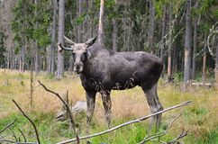 Moose in wild nature. Photo of adult moose in wild swedish forest Stock Image