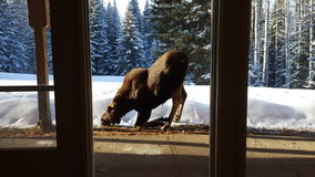 Moose Through Window in Winter stock photography