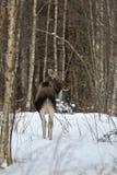 Moose in winter Stock Photo