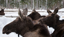 Moose in winter forest farm moose Royalty Free Stock Photography