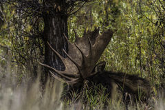 Moose 2014 and 2015 Royalty Free Stock Images