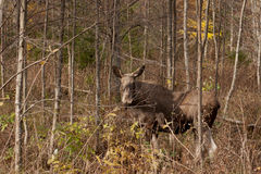 Moose in the woods Royalty Free Stock Image
