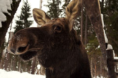 Moose in the woods elk farm in winter Royalty Free Stock Photo