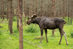 Moose in the woods Stock Photography