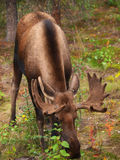 Moose Royalty Free Stock Photography