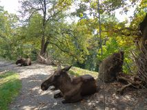 Moose at the Zoo in austria royalty free stock images