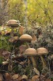 Mooshrooms.White Birch Bolete. Stock Images