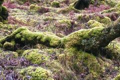 Moosige Baum-Kabel Stockfoto