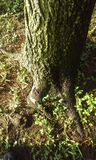 Moosige Baum-Wurzeln Lizenzfreies Stockbild