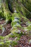 Moosige Buchenbaumwurzeln und -stamm Lizenzfreie Stockbilder
