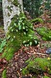 Moosige Wurzeln und Felsenwaldboden lizenzfreie stockfotos