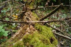 Moosiger Baumstamm im Wald stockbilder