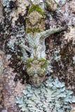 Moosiger Blatt-angebundener Gecko stockbild