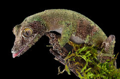 Moosiger Gecko auf Zweig Stockfotografie