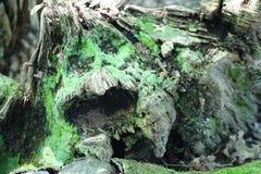 Moosiger Klotz, der unten von den Mikroorganismen verrottet stockbilder