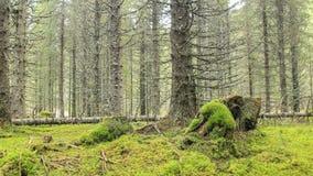Moosiger Stempel im Kiefernwald lizenzfreies stockbild
