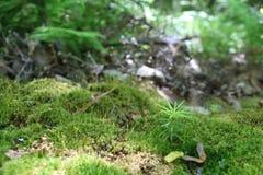 Moosiges Bett mit der Baum-Keimung Stockbild