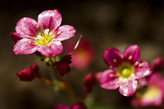 Moosiges Saxifrage Stockfotografie
