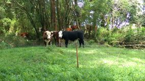 Moove out of my way. Cows Apollo bay Australia green lush milk dairy Stock Photography