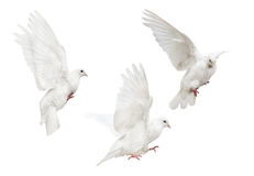 Mooving isolated three white pigeons Stock Image