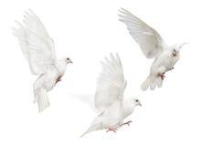 Mooving isolated three white pigeons Stock Image
