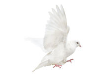 Mooving isolated white pigeon Stock Photography