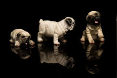 Mop dog Stock Photos