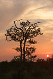 Mopane Sunset. The mopane or mopani (Colophospermum mopane) tree grows in hot, dry, low-lying areas in the far northern parts of southern Africa, into South Stock Photo