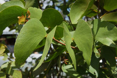 Mopane Tree Royalty Free Stock Photos