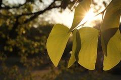 Mopani dourado Imagem de Stock Royalty Free