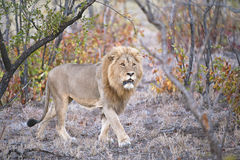 Mopaniveld Lion Stock Images