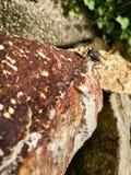 Moped komarnica rozgrzewkowa up na kamieniu Obraz Stock