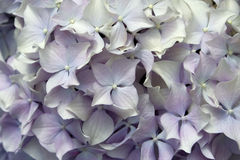 Mophead flower background. Mophead flower as seamless floral background Royalty Free Stock Photos
