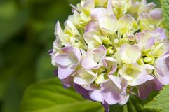 Mophead Hydrangea blooms Royalty Free Stock Images
