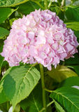 Mophead Hydrangea flower Royalty Free Stock Images