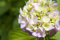 Mophead vanlig hortensiablom Royaltyfria Bilder