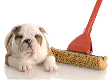 Mopping up after the new puppy. English bulldog puppy laying beside a sponge mop Royalty Free Stock Photography