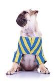 Mops собака щенка при повернутая головка Стоковое фото RF