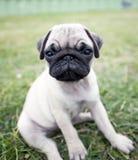 mops щенок Стоковая Фотография