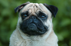 Mops Royalty Free Stock Photo