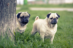 Mops dog guards Royalty Free Stock Photos