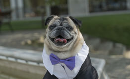 Mops dog. With suit and papion, front view Stock Images