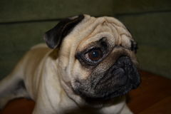 Mops. Embodied in the paintings of those times the dogs looked similar to modern Pugs royalty free stock photos