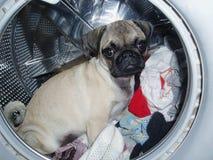 Mops i tvättmaskinen Royaltyfri Fotografi