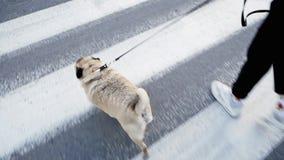 Mops krzyżuje drogę na zebrie, dziewczyna chodzi psa na smyczu zdjęcie wideo