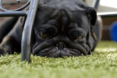 Mops. A Little dog is chillin on the floor Stock Photos