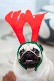 Mops med horn på kronhjort för röda hjortar lycklig hund Julmopshund bolljulen isolerade white för mood tre En hund i lägenheten Royaltyfria Bilder